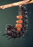 Larva of Mourning cloak butterfly about to pupate Nymphalis antiopa