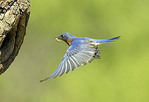 Adult Male Eastern Bluebird landing at nest hole.