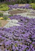 Flower beds in purple
