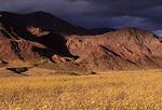 Desert Gold flowers in Death Valley National Park