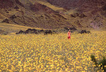 Young girl walkng in desert gold flowers at Death Valley NP