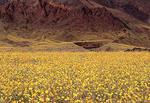 Desert Gold Flowers in the Spring