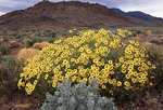 Brittlebush Flowers in the desert