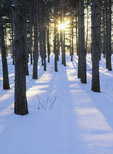 Late winter afternoon sun creates long and dramatic shadows in this stand of pine trees