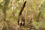 Wild coati in Turu Ba Ri Park, Costa Rica.
