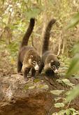 Wild coatis in Turu Ba Ri Park, Costa Rica.