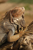 Green iguana basking on a branch in Turu Ba Ri Park, Costa Rica.