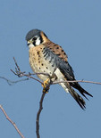 American kestrel sitting on a tree branch.