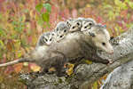 Virginia Opossum. Adult captive female with young.