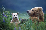 Brown bear mother and cub in lupines.