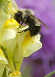 Bee on Butter-and-eggs flower.