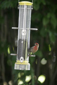 Finch at back yard feeder.