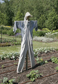 Scarecrow in a field.