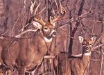 Big whitetail buck tending a doe during the rutting season.