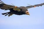 California condor in flight; an endangered species.