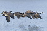 A flock of canada goose in flight.