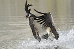 Canada goose taking off.