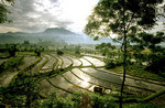 Huge rice fields in the morning light.
