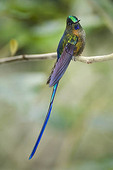 A colorful violet-tailed sylph hummingbird sitting on a tree branch.