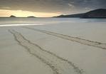 Sea turtle tracks on the beach at sunset.