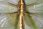 A close-up of a beautiful dragonfly at a spring pond.