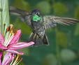 Magnificent hummingbird in flight near a flower