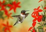 Ruby-throated hummingbird around royal catchfly.