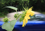 Sunflower against a blurry passing car.