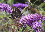 Black swallowtail butterfly on a purple butterfly bush.