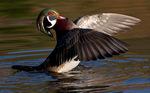 Male wood duck landing.