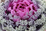 A colorful flowering cabbage.