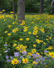 Oxeye sunflowers and wild bergamot in a summer savanna.