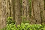 Redwood tree trunks in Redwood National Park, California.