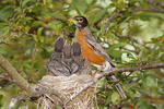 American robin and chicks in their nest.