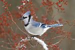 Blue Jay perched on snow covered multiflora rose.