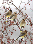 Four Cedar Waxwings perched on a tree.
