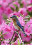 Colorful Eastern Bluebird perched on a pink Azalia bush.