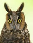 Portrait of a Long-eared owl in captivity.