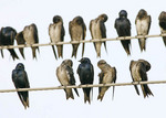 A group of Purple Martins sitting close to each other on a wire.