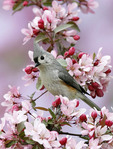 Tufted Titmouse in blooming crabapple tree.
