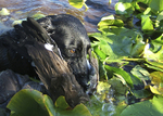 A black dog swimming through lily pads with a bird in its mouth.