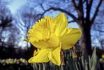 A beautiful yellow daffodil growing in New York Botanical Garden.