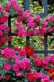 Rose trellis in New York Botanical Garden.