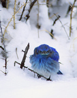 Mountain Bluebird on the snow.