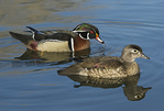 A male and female Wood Ducks on the water.