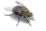 A house fly close up on a plain white background.