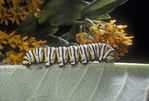 Monarch Butterfly caterpillar on a green leaf.