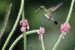 Snowy bellied hummingbird by a flower.