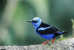 Red-legged Honeycreeper on a tree branch.