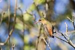 Cinnamon Hummingbird on a tree branch.
